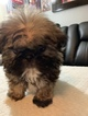 Shih Tzu Puppy For Sale in BEEVILLE, TX, USA