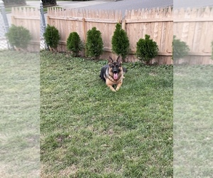 German Shepherd Dog Puppy for sale in HICKSVILLE, NY, USA