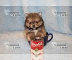 Small #15 Pomeranian