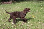 Labradoodle Puppy For Sale in WARSAW, IN, USA