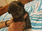 Shih-Poo Puppy For Sale in WETUMPKA, AL, USA