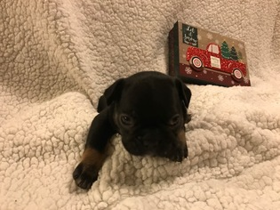 French Bulldog Puppy For Sale in FIRESTONE, CO, USA