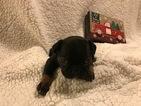 French Bulldog Puppy For Sale in FIRESTONE, CO, USA