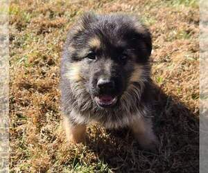 German Shepherd Dog Puppy for sale in BELLA VILLA, MO, USA