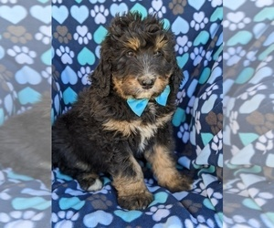 Bernedoodle Puppy for sale in KIRKWOOD, PA, USA