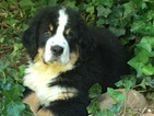 Bernese Mountain Dog Puppy For Sale in VIRGIN, UT, USA