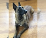 Working Line Belgian Malinois Puppies for Sale