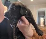 Puppy 5 Goldmaraner
