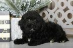 Sprout Male Poodle