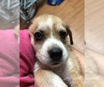 Puppy 7 Beagle-Siberian Husky Mix
