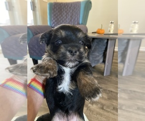 Yorkshire Terrier Puppy for sale in P C BEACH, FL, USA