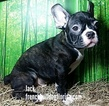 French Bullog Puppies Pet name Jack