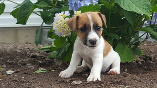 Jack Russell Terrier Puppy For Sale in PARKESBURG, PA