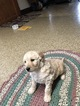 Goldendoodle Puppy For Sale in ELKHART, IN, USA