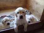 Golden Retriever Puppy For Sale in WILLIAMSTOWN, Kentucky,