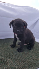 Cane Corso Puppy For Sale in FOUNTAIN RUN, KY