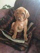 Vizsla Puppy For Sale in WILLIAMSON, NY