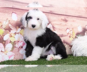 Sheepadoodle Puppy for Sale in MARIETTA, Georgia USA