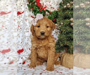 Labradoodle Puppy for sale in QUARRYVILLE, PA, USA