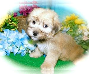 Shorkie Tzu Dog for Adoption in HAMMOND, Indiana USA