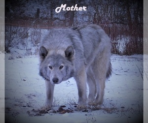 Mother of the Wolf Hybrid puppies born on 01/05/2021