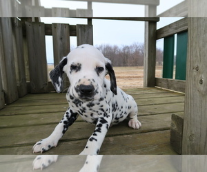 Dalmatian Puppy for sale in JACKSON, MI, USA