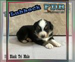 Lubbock Mini Black Tri Male Aussie