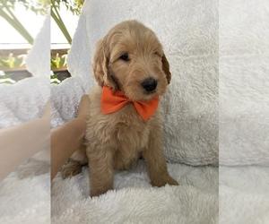 Goldendoodle Puppy for Sale in SACRAMENTO, California USA