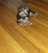 Yorkshire Terrier Puppy For Sale in ATLANTA, GA, USA