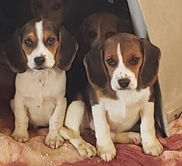 Beagle Puppy for sale in EL CAJON, CA, USA