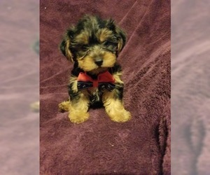 Yorkshire Terrier Puppy for Sale in BELLEVILLE, Illinois USA