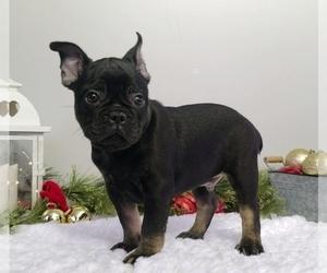 French Bulldog Puppy for Sale in SUGARCREEK, Ohio USA