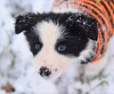 Adorble Border Collie Puppies