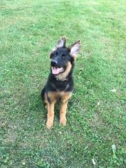 German Shepherd Dog Puppy For Sale in CATONSVILLE, MD