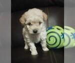 Puppy 2 Goldendoodle-Poodle (Miniature) Mix