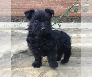 Medium Poodle (Miniature) Mix