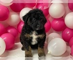 Puppy 4 Aussiedoodle Miniature