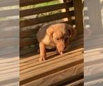 Small Labrador Retriever