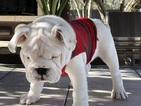 Bulldog Puppy For Sale in CASTROVILLE, Texas,