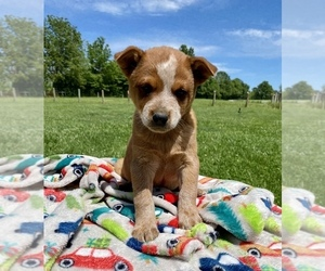 Australian Cattle Dog Puppy for sale in SEAMAN, OH, USA