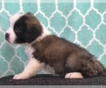 Small #7 Saint Bernard