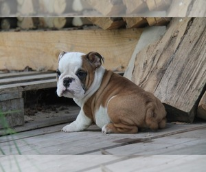 English Bulldog Puppy for Sale in HOLLYWOOD, Florida USA