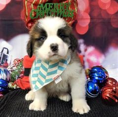 Saint Bernard Puppy For Sale in CHICAGO, IL, USA