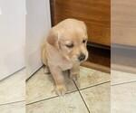 Puppy 7 Golden Labrador