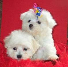 Maltese Puppy For Sale in LITTLETON, CO