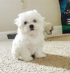 Maltese Puppy For Sale in ORLANDO, FL, USA
