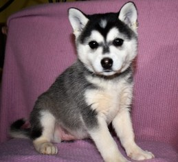 View Ad Alaskan Klee Kai Puppy For Sale Near Oregon Aumsville Usa