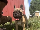 French Bulldog Puppy For Sale in WEST PLAINS, Missouri,
