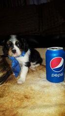 Cavalier King Charles Spaniel Puppy for sale in ALVARADO, TX, USA