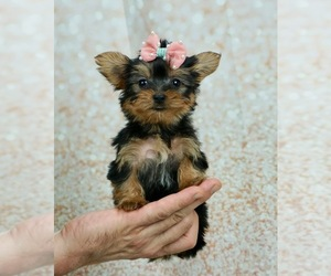 Yorkshire Terrier Dog for Adoption in WARSAW, Indiana USA